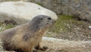 marmota aran park 1