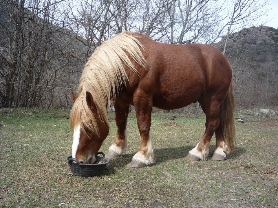 cavall pirinenc catala